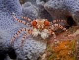 Lybia tesselata - Краб анемоновый помпоновый M