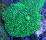 Discosoma Neon Green M, № 1