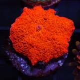 Jawbreaker mushroom Ultra Red/Green, S