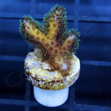 Pocillopora Gold Bird\'s Nest, XS № 1