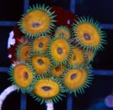 Nuclear Death Paly, 13 polyps