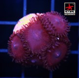 Paly Pink, 5 polyps