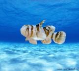 СКИДКА 10%!!! Priolepis nocturnus - Бычок чернополосый M