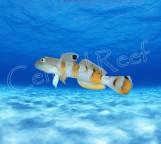 СКИДКА 15%!!! Valenciennea wardii - Бычок-валансьенн тигровый XL