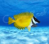 СКИДКА 15%!!! Siganus vulpinus - Лисица желтая M