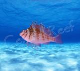 СКИДКА 10%!!! Cirrhitichthys falco - Кудрепер сокол M
