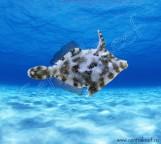 Acreichthys tomentosus - Единорог-акреихт щетинохвостый M