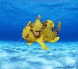 Antennarius maculatus Yellow - Бородавчатый желтый удильщик M СКИДКА 5%!!!